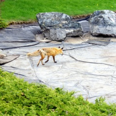 What does the fox say? (Hint: It didn't say anything. But it did go on to poop in that empty lake.)